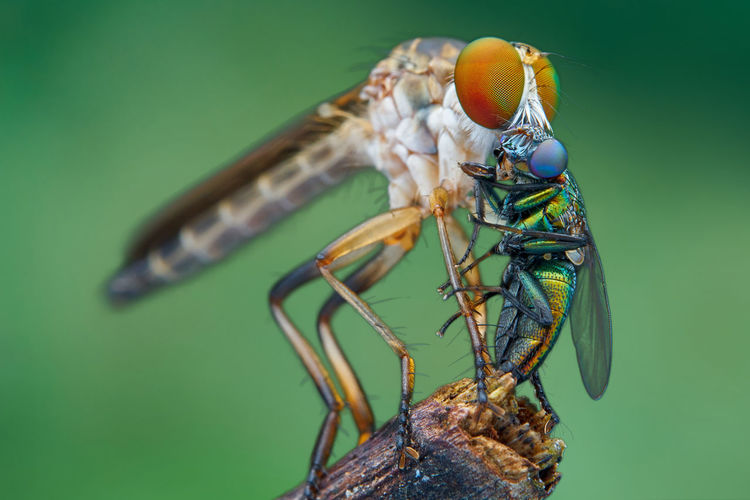 Robberfly with prey Fly Macro Photography Nature Cfkam Insect Robberfly