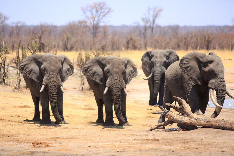 Animal Themes Elephant Animal Mammal Animals In The Wild Animal Wildlife Group Of Animals Nature No People Safari Outdoors African Elephant Hwange National Park Zimbabwe Animals In The Wild Herd Wildlife Wildlife & Nature Savannah Plains Mammals Tree Field Standing Animal Trunk Animal Family