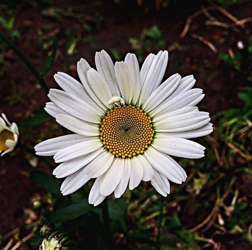 Flower Petal Flower Head Pollen White Color Fragility Nature Beauty In Nature Growth Freshness Plant Focus On Foreground No People Blooming Close-up Day Outdoors Osteospermum