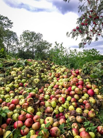 More than a few bad apples. Apples Fruits Rotten Food Farm Bad Apples Trees Farming Agriculture Discarded Heap Nature Abundance Summer Apple Season Apple Picking Season  Organic Food Food Waste Farm Waste Fresh Produce Biodegradable Environmentally Friendly Rotten Apples