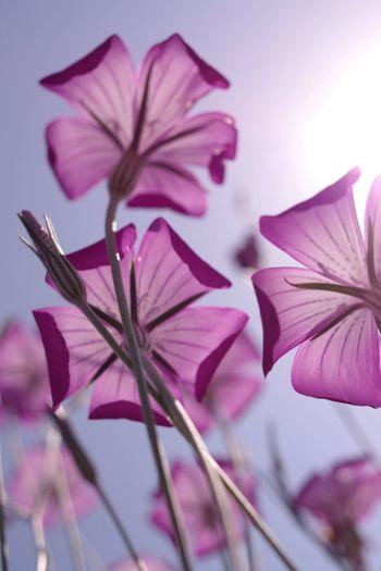 Flower Pentax K-3 埼玉県鴻巣市 麦なでしこ ポピー