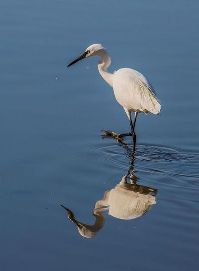 Animals In The Wild Bird Garzetta Nature One Animal Reflection Riflesso Sea Water Wildlife