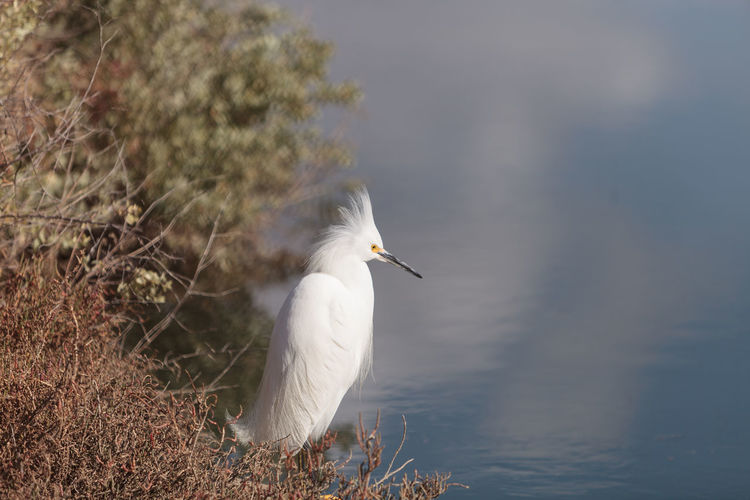 Snowy Egret, Egretta thula, bird forages in a marsh in Huntington Beach, Southern California, United States Animal Themes Animal Wildlife Animals In The Wild Bird Birds Day Egret Egretta Thula Marsh Nature No People One Animal Outdoors Snowy Egret Southern California Wildbird Wildlife