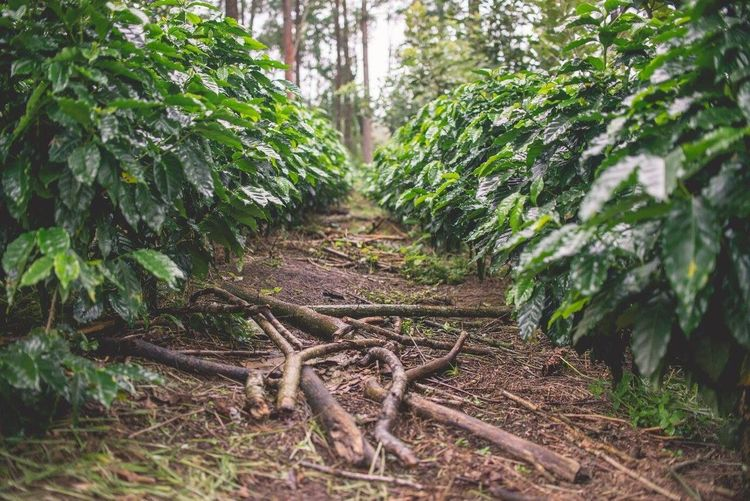 Coffee Farm Tree Nature Forest Outdoors Coffeeplant Coffeefarm Costarica Centralamerica Coffee No People Freshness Rain The Great Outdoors - 2017 EyeEm Awards The Great Outdoors - 2017 EyeEm Awards