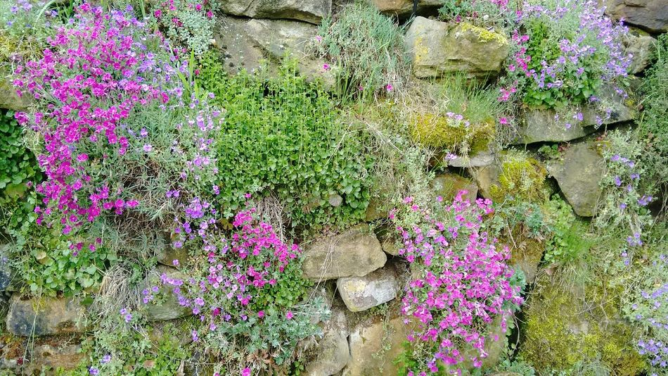 Stones And Flowers Nature Flower Collection Eyem Nature Lovers  No Filter, No Edit, Just Photography Flowers Beautiful Nature Spring Stone Wall Nature_collection Pink Flowers Plants Purple Flowers Flowers,Plants & Garden Showing Imperfection