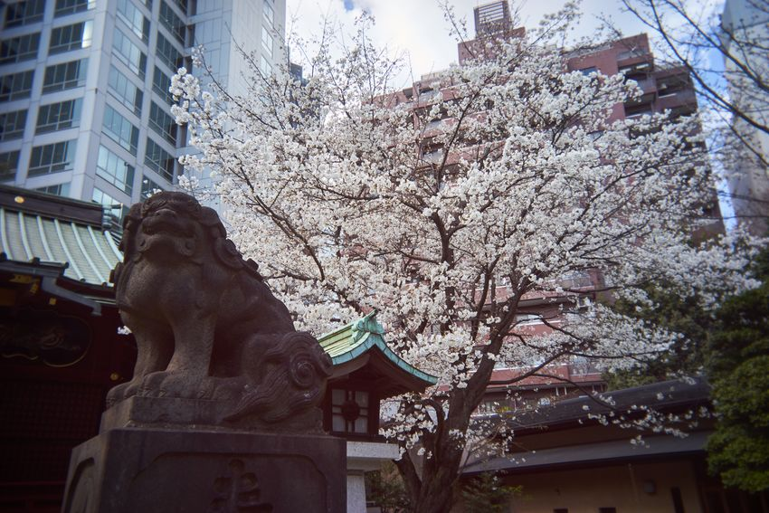 EyeEm Best Shots Streetphotography Cherry Blossoms Sakura Statue Utulens Statue Sculpture Architecture Built Structure Low Angle View Building Exterior Outdoors No People Day Tree Sky Nature