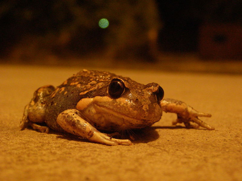 Frog upclose Concrete Frog Frog Eyes Frogs Macro Nature Naturevscity Nightanimal First Eyeem Photo