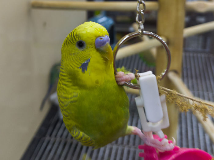 Bird Close-up Focus On Foreground No People Parakeet Parrot Perching Pets Petstore