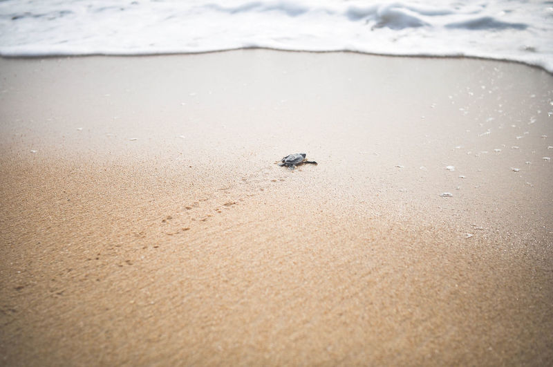 View of turtle crawling towards the sea