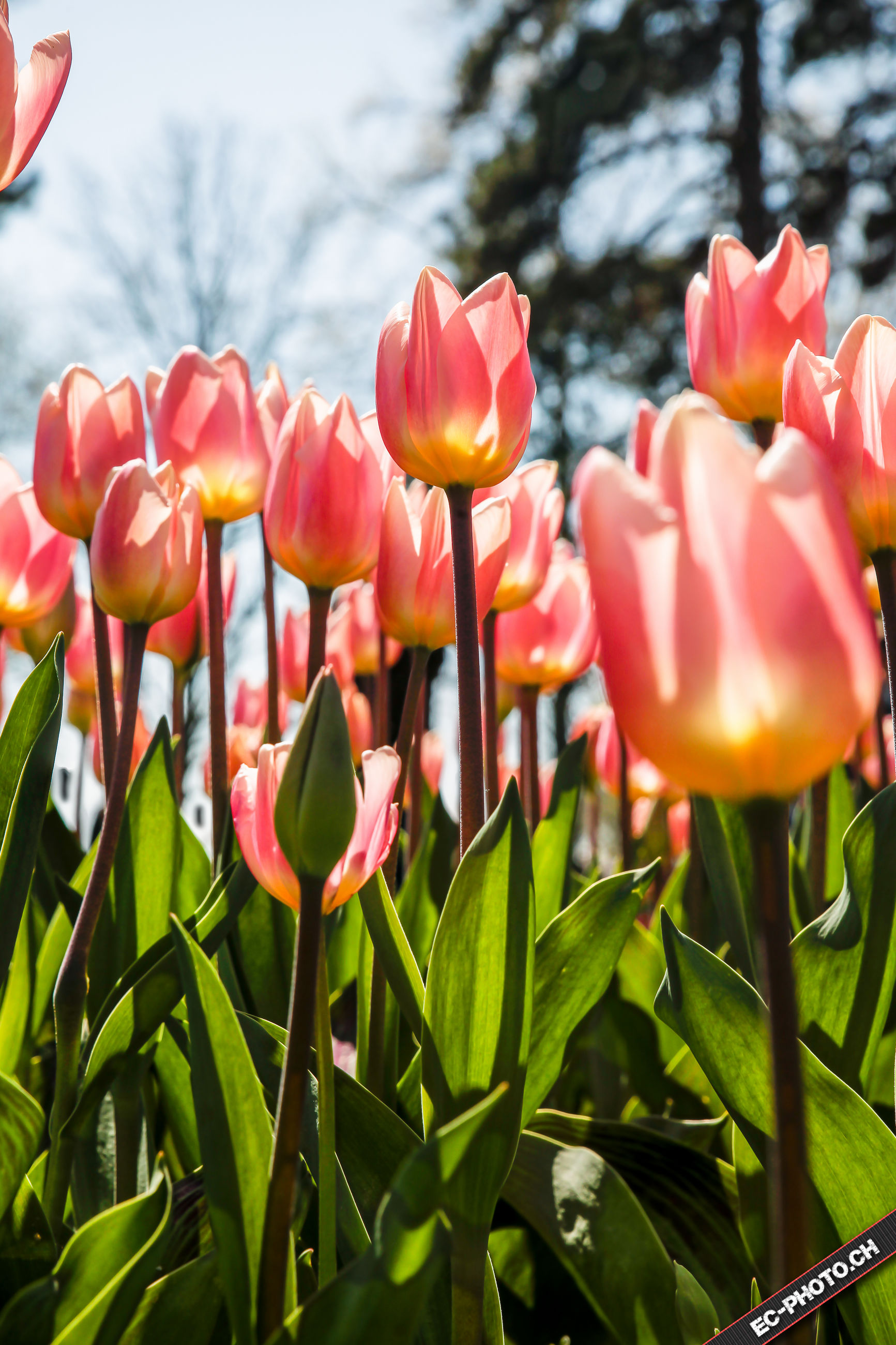 flower, petal, freshness, growth, tulip, fragility, flower head, beauty in nature, blooming, plant, nature, red, focus on foreground, close-up, stem, leaf, park - man made space, in bloom, field, outdoors