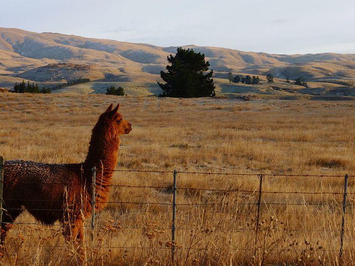 Brown alpaca on grassy field