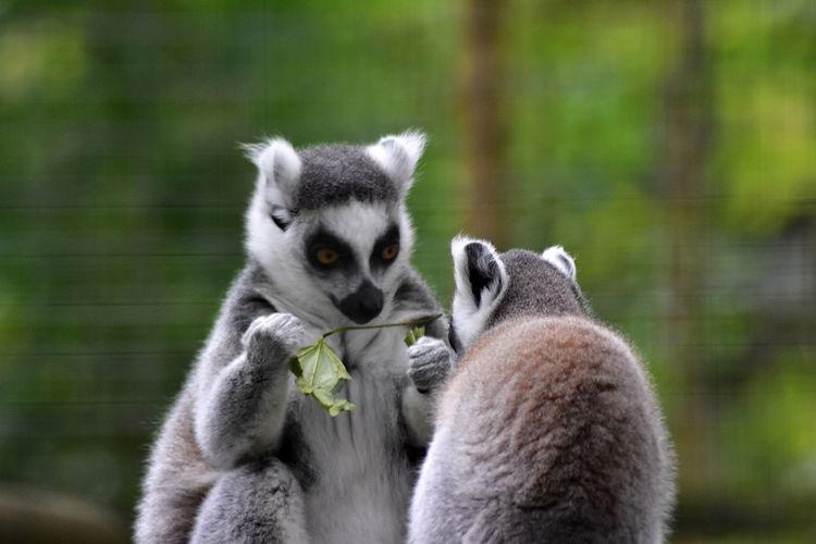 Close-up of lemur looking away outdoors