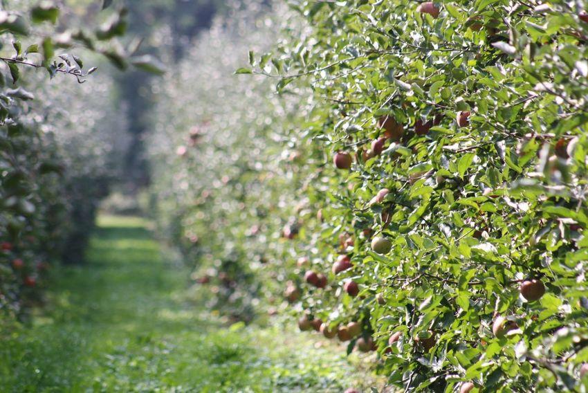 2. Test äpfel Am Baum Apfelplantage Moments Landschaft Landscape Herbst🍁 Bodensee Bodenseebilder Tree Leaf Summer Grass Plant Green Color Close-up