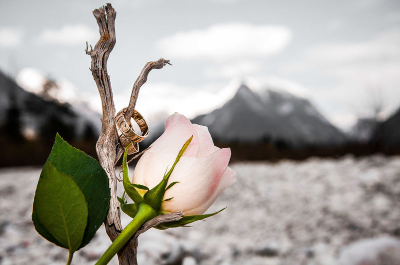 Background Bud Close-up Color Fingers Flower Flower Head Focus On Foreground Life Events Mountains Nature No People Outdoors Photography Rosé Rose - Flower Stick Wedding Rings