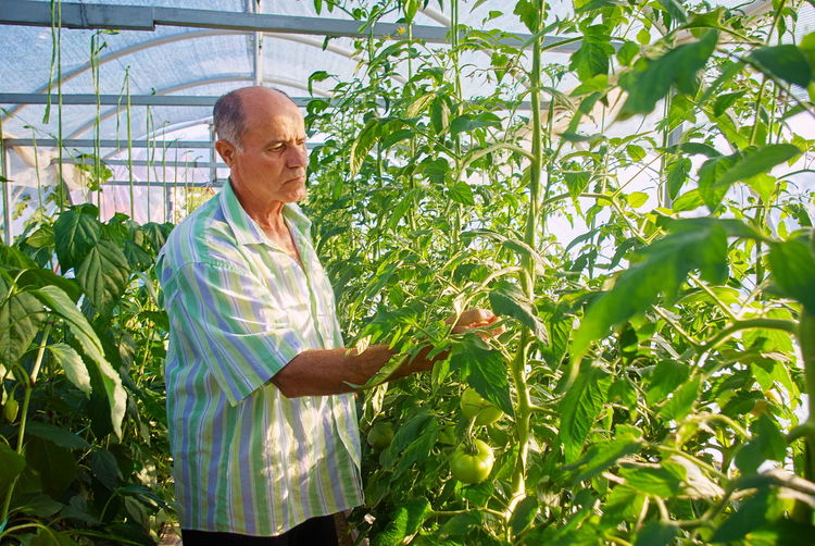 Man working gardening business in greenhouse Adult Agriculture Beauty In Nature Botany Day Farm Farmer Food Greenhouse Growth Lab Coat Leaf Males  Mature Adult Mature Men Men Nature Occupation One Person Outdoors Plant Senior Adult Standing Working