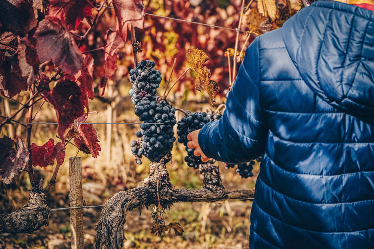 Midsection of man holding grapes in vineyard