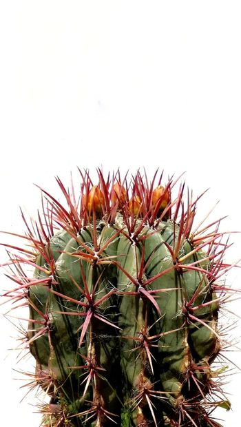 Thorn Cactus Spiked Nature Growth Plant Green Color No People Beauty In Nature Outdoors Close-up Day Sky White Background Full Frame Wallpaper Cactuslover Cactus Flower Botany Flower Nature Planting Sunny Minimalism Travel Mix Yourself A Good Time Your Ticket To Europe Berlin Love The Week On EyeEm EyeEmNewHere