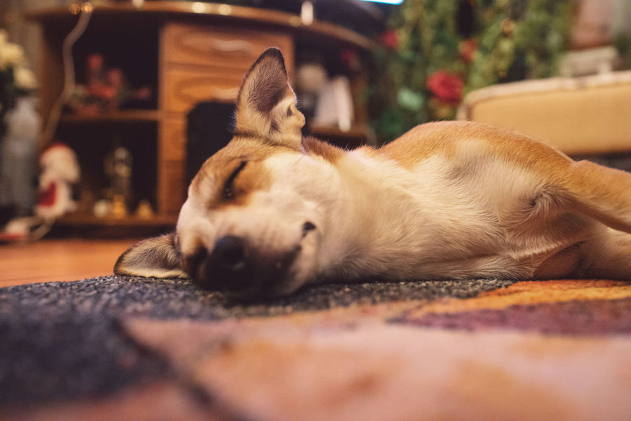 Pets Domestic Mammal Dog Domestic Animals One Animal Relaxation Canine Animal Themes Animal Sleeping Resting Lying Down Vertebrate Selective Focus Close-up Indoors  Home Interior No People Eyes Closed  Surface Level Animal Head  Napping