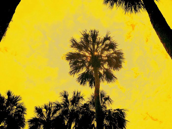 Sun Behind Tree Sun Behind Palm Yellow Nature Silhouette Tree Beauty In Nature No People Scenics Outdoors Sky Day