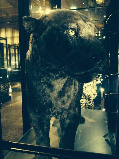 Dead Black Panther Animal Behind Glass Berlin Black Beauty Close-up Dead Animal Focus On Foreground Naturkundemuseum Berlin  No People Panther Save The Animals Stuffed Animals Portrait The Week Of Eyeem EyeEm Gallery Eyem Nature Lovers  Save The Nature 35mm