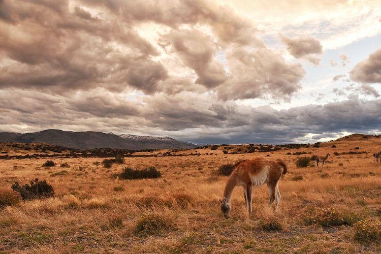 Mammal grazing on field