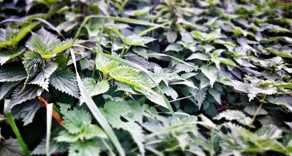 Nettle Nature Green Plants