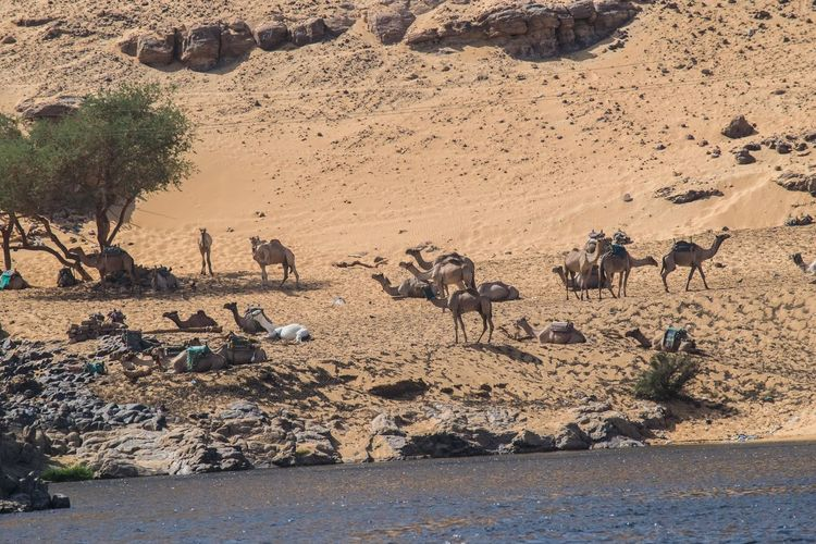Camels in desert by lake
