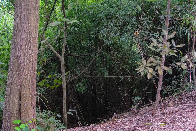 Bamboo tree at
