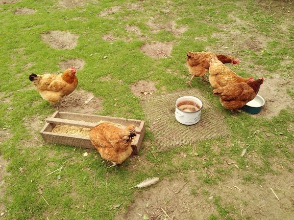 Happy free range hens on the private backyard, domestic fowl animals. Grass No People Chicken - Bird Hen Bird Free Range Backyard Poultry Fowl Farm Animal Chicken Chickens Rhode Island Red Hens Happy