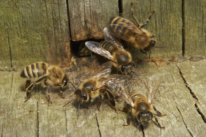 Beehive Animal