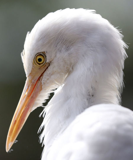 Close-up of egret