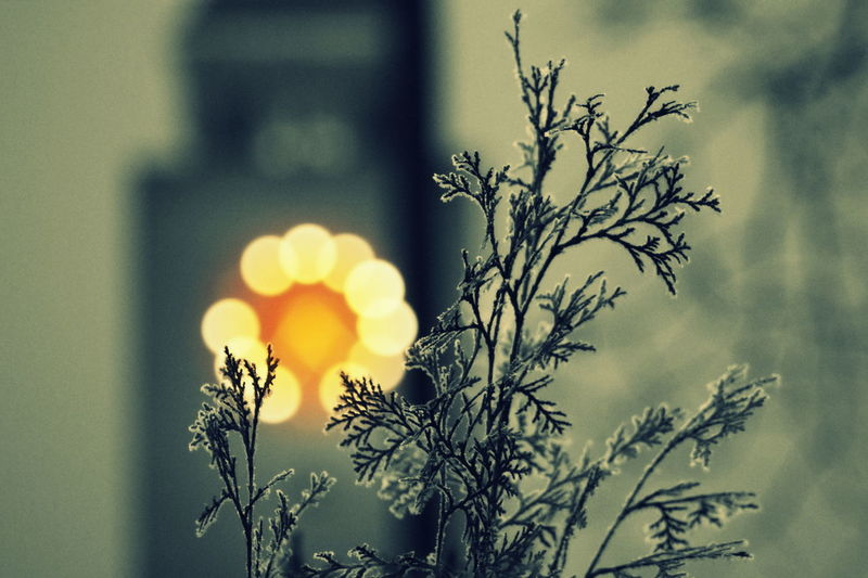 Church Clock Beauty In Nature Branch City Life Close-up Day Flower Flower Head Focus On Foreground Honvéd Tér Lights Nature No People Outdoors Plant Protestant Church Thuya Tree Adapted To The City Bokeh Boke Bokeh Photography EyeEm Best Shots Miles Away The City Light