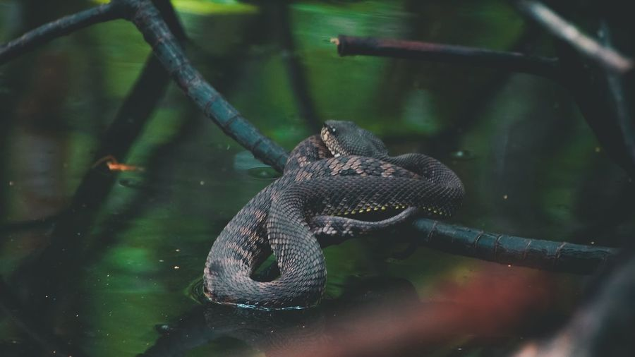 High angle view of snake swimming in mangrove forest
