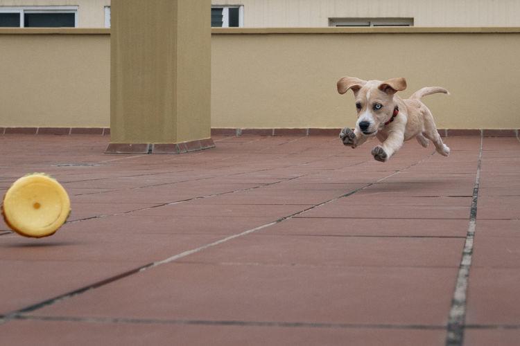 View of puppy running