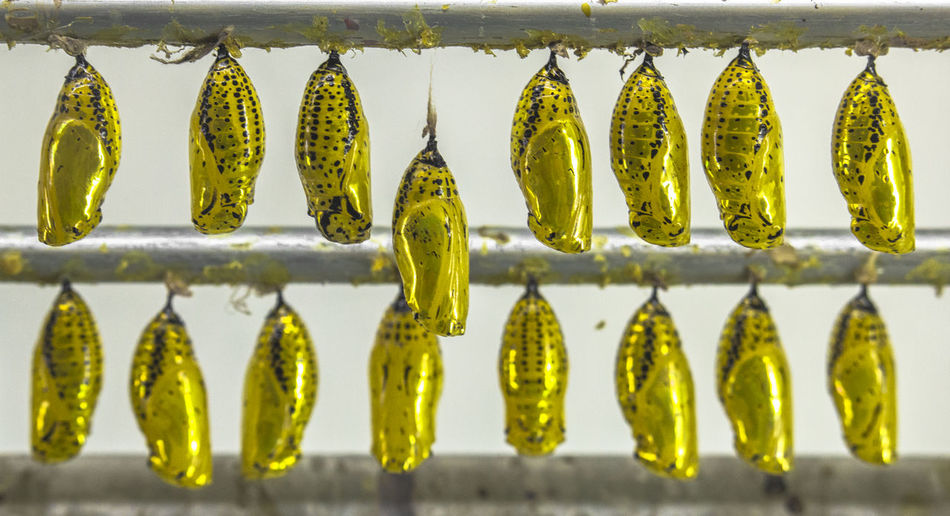 Beginning of Butterflies' Births Cocoon Gold Insects Beautiful Nature Life Arrangement Birth Birthday Butterfly Butterfly Cocoon Close-up Cocoon Cocoons Gold Colored Growth In A Row Insects  Lifeform Nature No People Vibrance Vibrant Color EyeEmNewHere