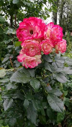 Rosé Flower Red Pink Green Leaves RainDrop Rain Garben Nature Summer