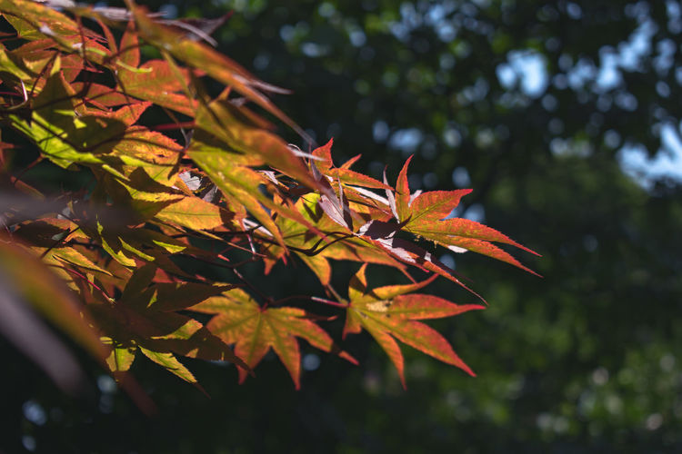 Autumn Collection Leaves Fallen Maple Maple Tree Leaf Vein Fall Tree Area Sun Shining