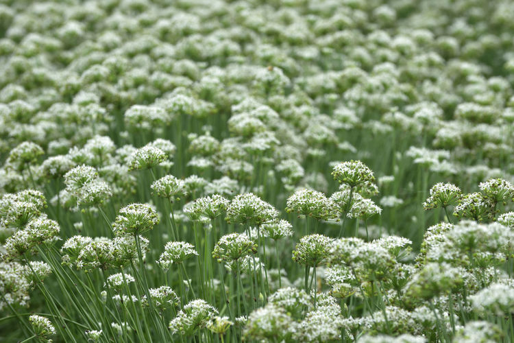 Beauty In Nature Close-up Cold Temperature Field Fragility Freshness Green Color Growth Nature No People Outdoors Plant Snow Tranquility Winter 展望 蔬菜 農作物 農業 鄉村 開花 韭菜花
