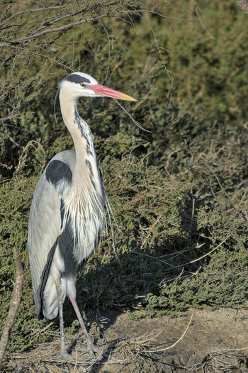 High angle view of gray heron perching on a field
