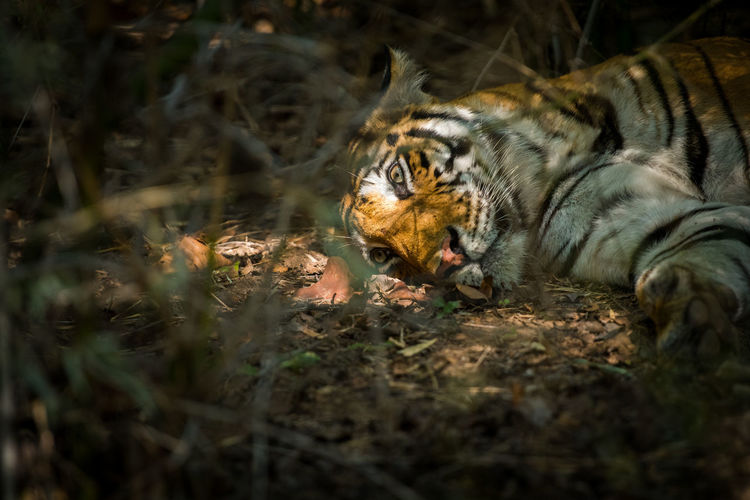 High angle view of tiger sleeping on field in forest