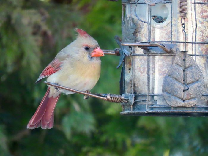 Birds of EyeEm female cardinal at the feeder close up focus on the foreground greenery in the background Bird Animal Themes One Animal Perching No People