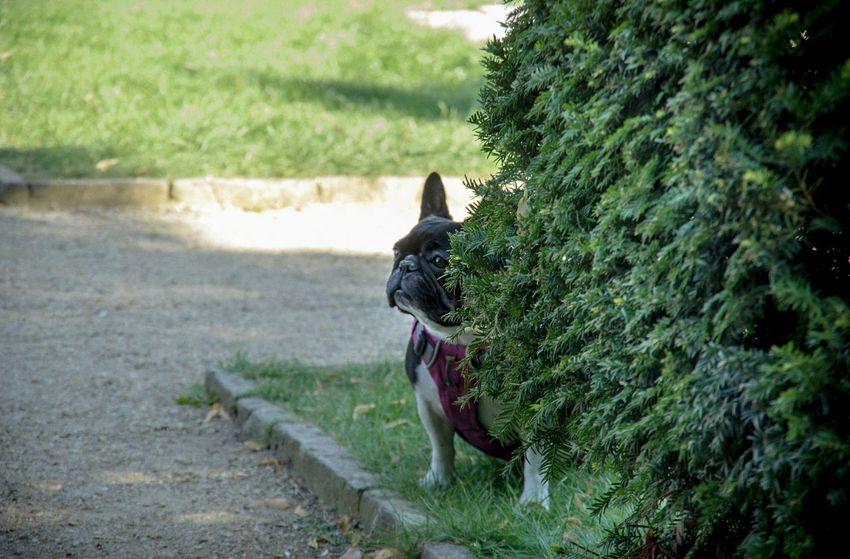 Summer Dogs French Bulldog Dog