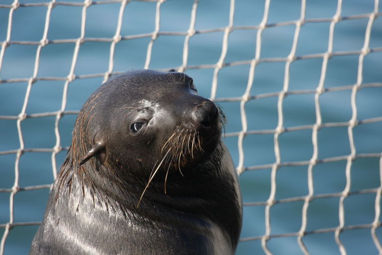 Animal Themes Animal Wildlife Animals In The Wild Aquatic Mammal Close-up Day Fence Mammal Nature No People One Animal Outdoors Seal - Animal