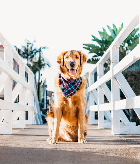 Golden Retriever Animal Themes Brown Day Dog Domestic Animals Full Length Looking At Camera Mammal Nature No People One Animal Outdoors Pets Portrait Fresh On Market 2017