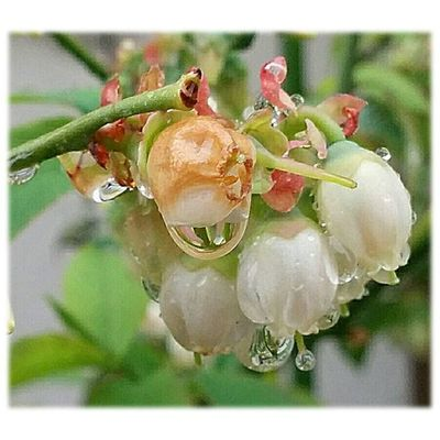 🌂 降り続く雨🎶☺ Constant rain 🎶☺ ※ ブルーベリー Blueberry 雨粒 RainDrop 花弁 Petals 植物 Plants 日本 Japan 自然 Natur 綺麗 Beautiful 癒し Comfort 休息 Rest 安らぎ Peace Happiness Positivity Flowers Flower 😚 plants_Japan_nagoya_mitu