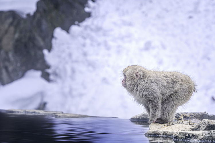 Monkey on rock by lake during winter