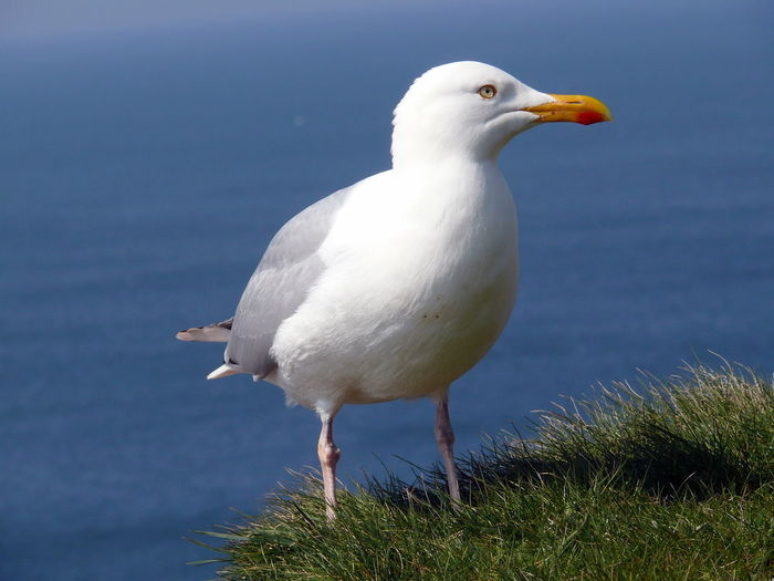 Close-up of seagull perching on grass by lake