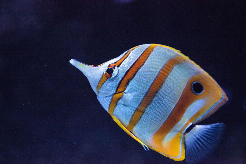 Copper-banded butterflyfish, Chelmon rostratus, picks at the corals on the reef Chelmon Rostratus Copper-banded Butterflyfish Animal Themes Animal Wildlife Animals In The Wild Butterflyfish Close-up Day Nature No People One Animal Sea Life Swimming UnderSea Underwater