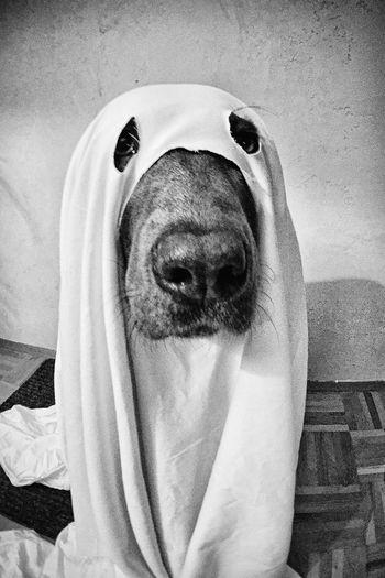 Helloween Dog Dogfun Gespenstisch Ghost Ghostdog Buuu Hi! Costume Labrador Dognose Mylove Makeover Labrador Retriever Roamingfrieda Handmade Haha FUNNY ANIMALS Funny Hehe Lustig Bandit Robbery Gangsta Black And White
