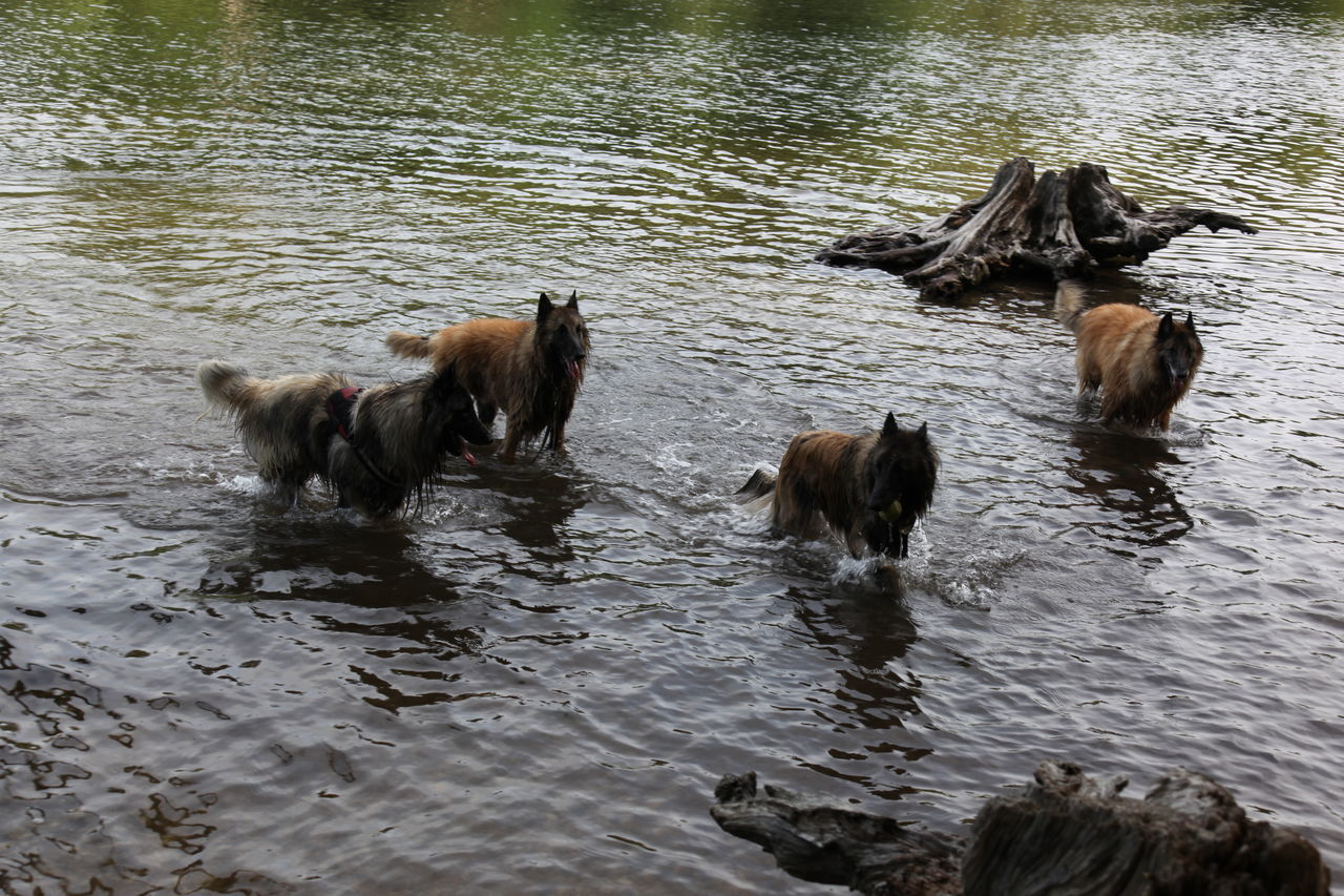 animal themes, animal, mammal, group of animals, water, vertebrate, domestic animals, pets, waterfront, domestic, lake, day, no people, animal wildlife, animals in the wild, canine, dog, nature, three animals, outdoors